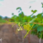 ambi-wines-vineyards-102-150x150